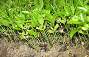 agarwood gaharu plant seedlings saplings